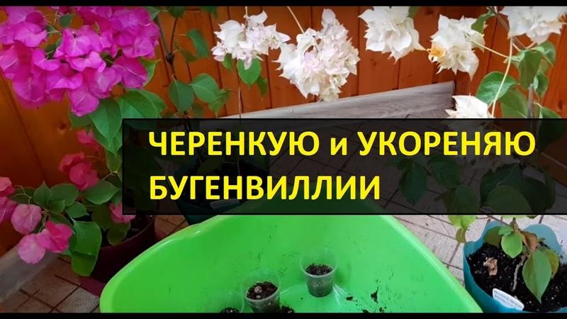 Бугенвиллии КАК черенковать и укоренить 2019 Бугенвилея укоренение