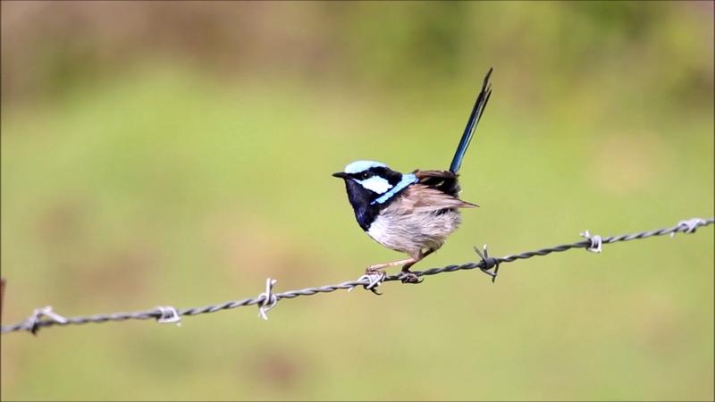 Прекрасный расписной малюр / Malurus cyaneus / Superb Fairy Wren Blue Wren call song