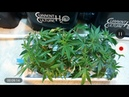 How To Transplant Clones in DWC With Current Culture