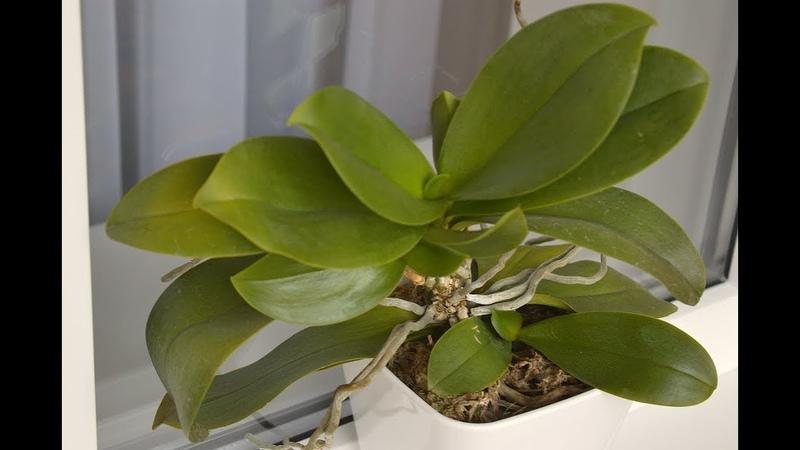 ОРХИДЕИ будут РАСТИ ЛИСТЬЯ так после Полив орхидеи для восстановления листьев