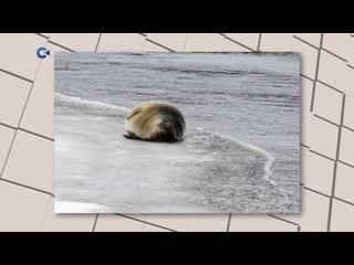 Тюлень в Беломорске