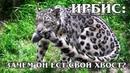 ИРБИС СНЕЖНЫЙ БАРС Горный кот с длинным хвостом