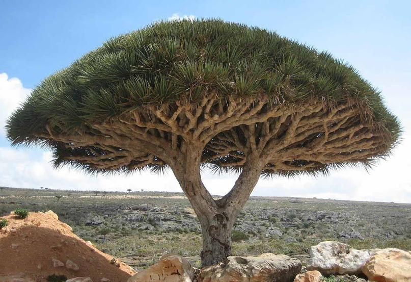 Уникальное растение острова Сокотра