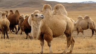 Слишком много пьют! на севере Австралии убьют около десяти тысяч диких верблюдов
