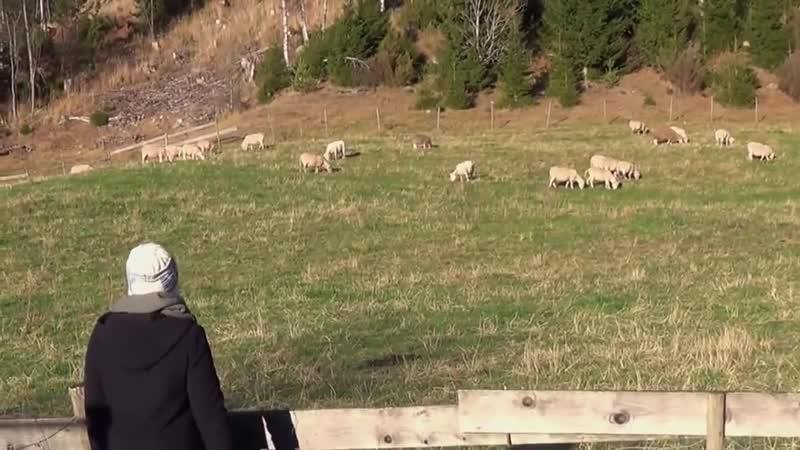 Правда ли что овцы слушают только голос своего пастыря