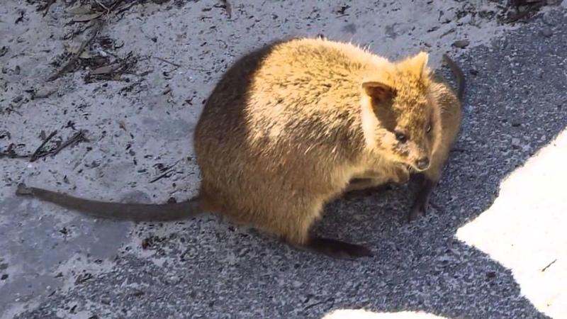 Забавная квокка с малышом Австралийский безхвостый кенгуру Adorable pretty quokka with a baby