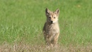 Eastern Coyote Pup Squeaks out the Cutest Howl