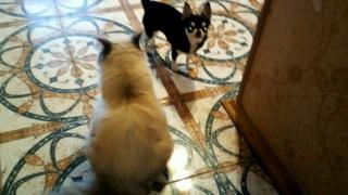 Две подружки. //Чихуахуа Пулька и шотландская кошка Буня. .