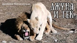 Недовольный лев ГЕК и  ДЖУНА. СТЕРВА умывается. Тайган. Life of .