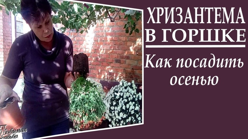 Как сажать корейские хризантемы осенью если вы купили их в горшках Это важно