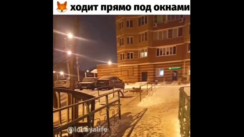 Рыжая плутовка без опаски бегает под окнами на Борисова и суёт свой нос куда не следует Именно там на речке Лобня в большом