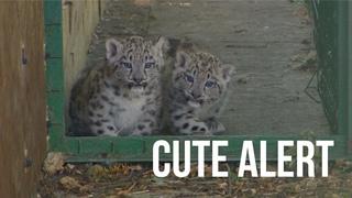 Cute Alert - Snow Leopard cubs