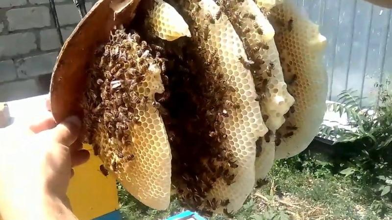 РОЙ В ЛОВУШКЕ РЕШИЛ ОТ РОИТЬСЯ-как поймать бродячий рой пчел- Beekeeping .