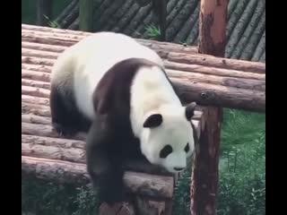 Панд много не бывает