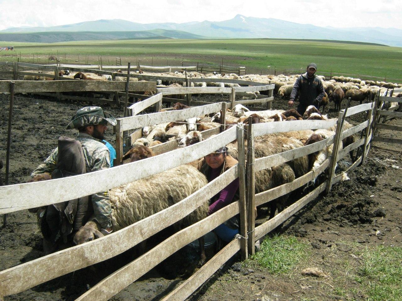 способ доения овец у езидов