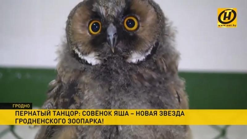 Совенок Яша танцующая звезда Гродненского зоопарка Милота зашкаливает