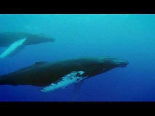Твои веселые друзья зверята. Горбатый кит Харриет