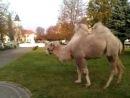 Ще такого не бачив щоб в центрі Жовкви пасся верблюд кози і корови зрозуміло але верблюд