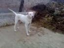 Бойцовые собаки гуль донг пакистанский бульдог