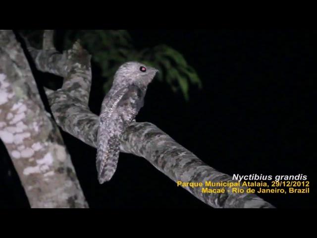 Исполинский козодой Mãe da lua gigante Nyctibius grandis