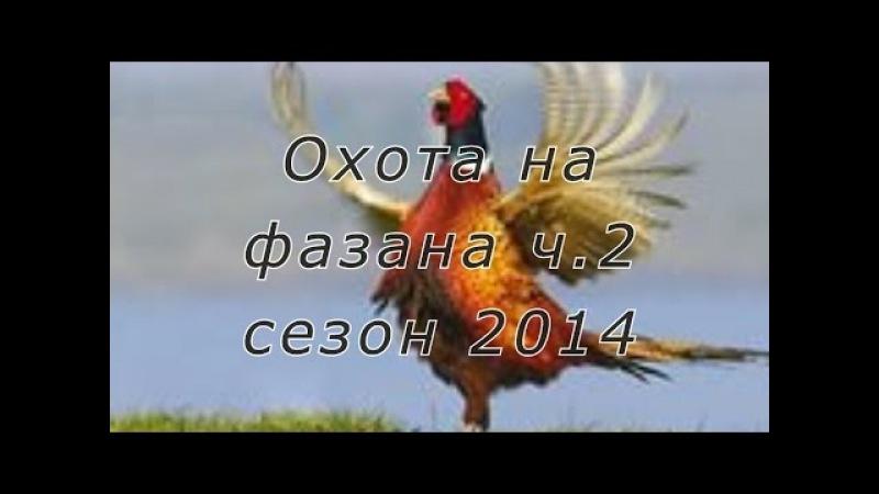 Охота на фазана с легавыми дратхаарами на Юге России Сезон 2014г Часть 2