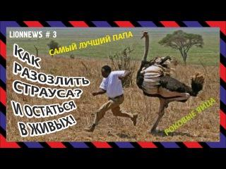 """Львиная новость №3 """"Страус - самый лучший папа!"""""""