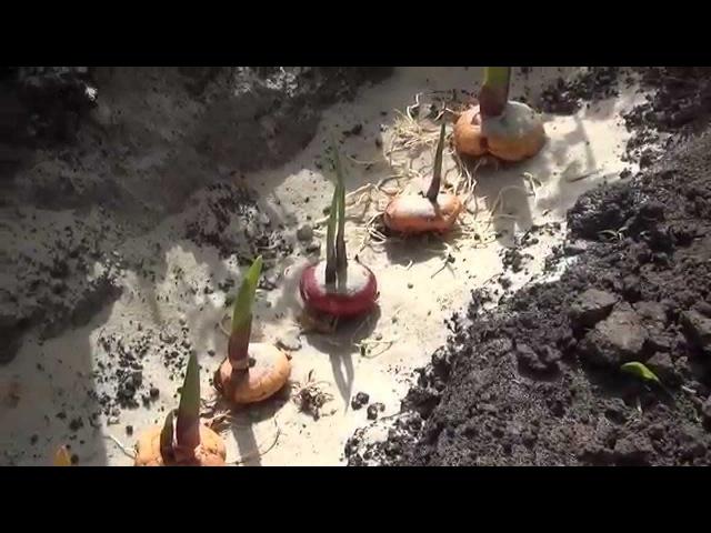Высаживаем луковицы гладиолусов. Planting bulbs Gladiolus