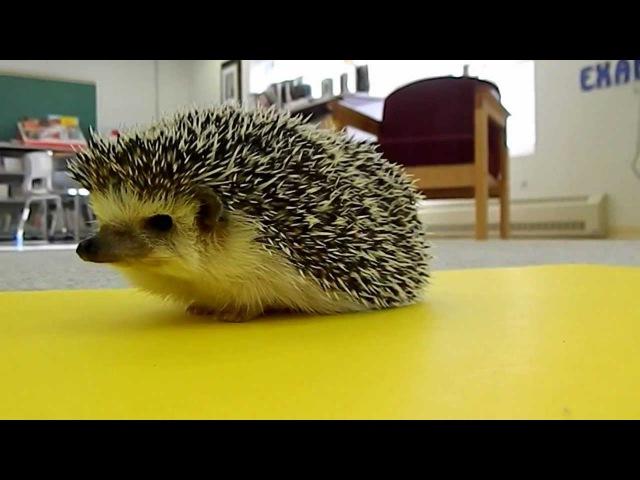 Cute Animals Hedgehog Wakes Up