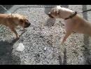 Притравка Pitbull (Chappy) VS Charpei Собачий Бой Питбуль Чаппи VS Шарпей