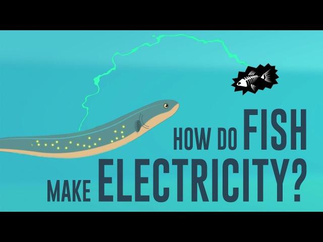 How do fish make electricity - Eleanor Nelsen