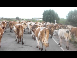 Стадо коров переходит автодорогу на Оренбург