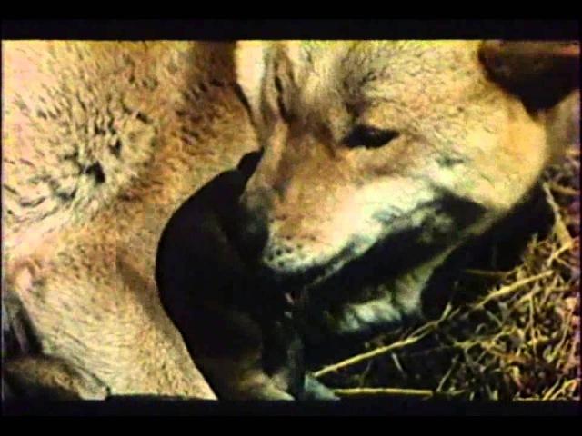 Matagi Lovec medvedu vhsrip czdub 1982 avi