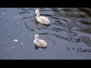 Пара белых лебедей и их малыши. Swan Family in nature.