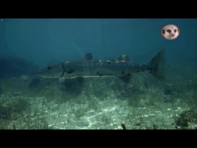 Голубые Багамы 3 серия Мангровые заросли Документальный фильм