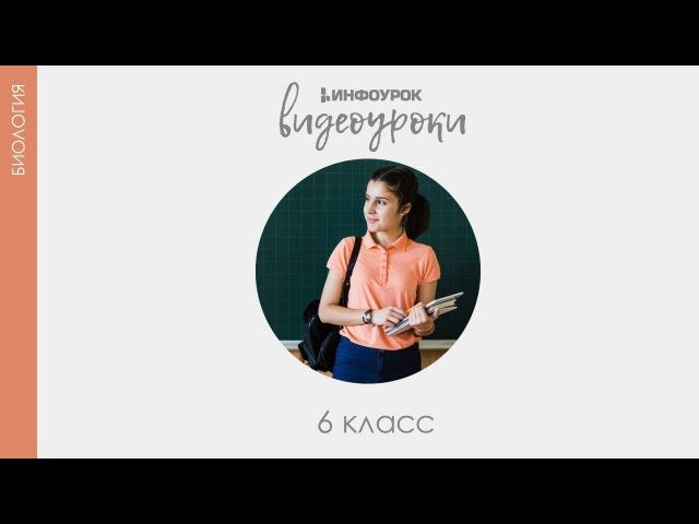 Голосеменные | Биология 6 класс 17 | Инфоурок