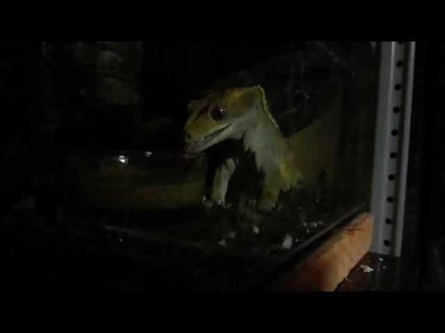 Реснитчатый бананоед ночной жор