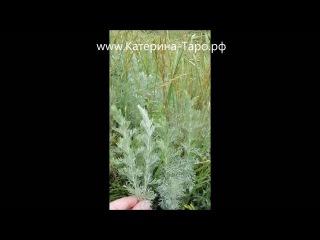 Магические свойства растений Полынь