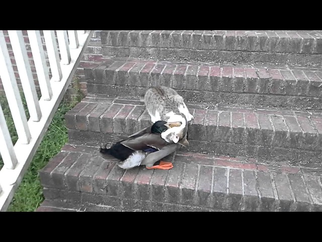 Cat duck fight Tom Bonin it's funny they're playing