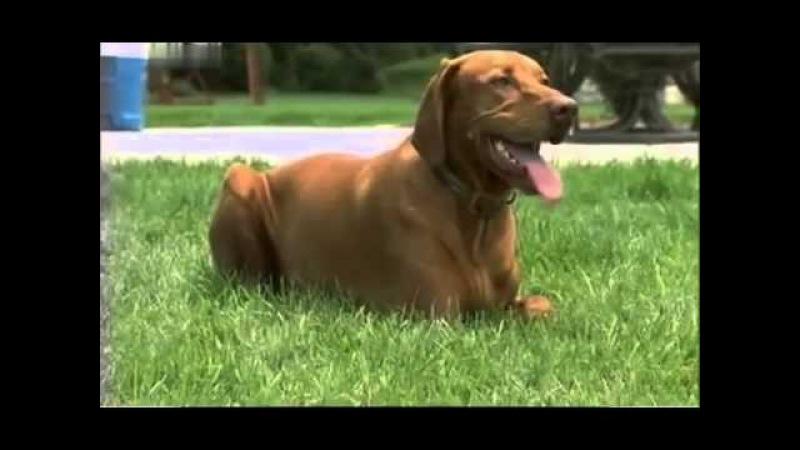 Введение в собаковедение 101 Dogs Часть 3 Animal Planet