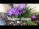 Весенние первоцветы/Шафран Crocus жёлтый, белый крокус/Подснежник, галантус/Весенник, или эрантис.