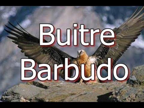 Buitre Quebrantahuesos o Buitre Barbudo en peligro de extinción