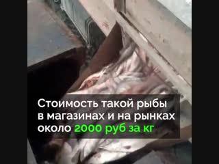 Чтобы не снижать цены на рыбу, тонны свежего лосося просто уничтожают
