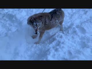 Зима, волк, снег, немного обо всём и ни о чём