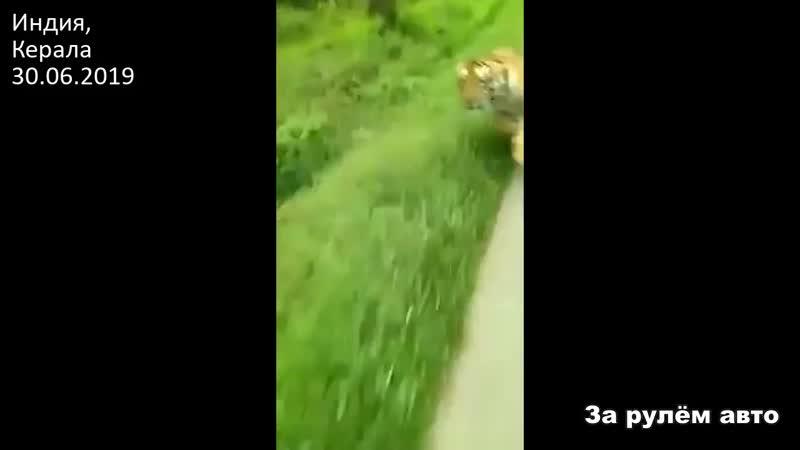 Тигр погнался за мотоциклистом