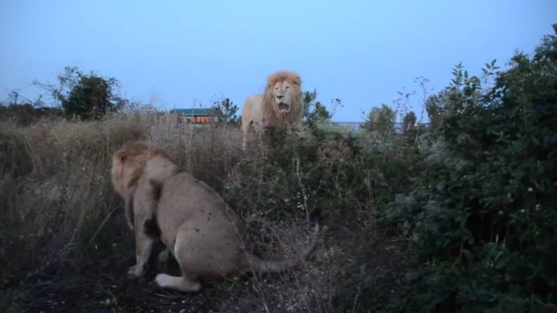 Вечер , саванна .лев Витя , его любовь Герда и львиное ОПГ