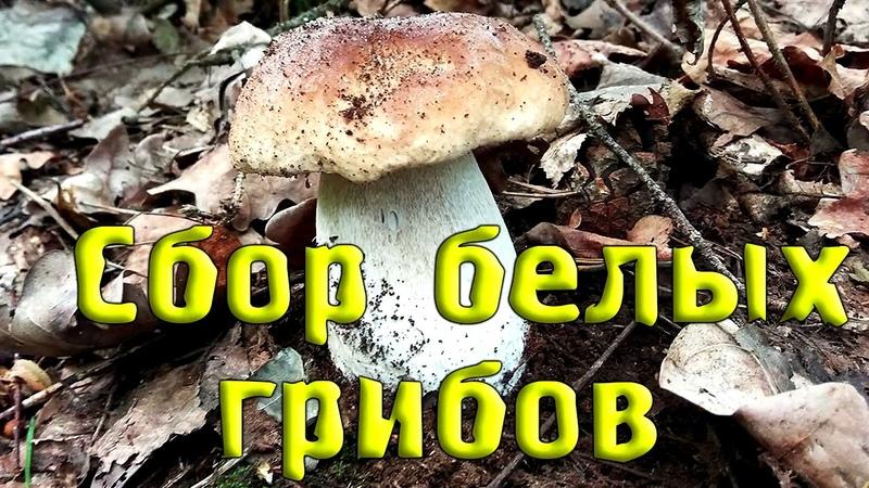 Сбор БЕЛЫХ грибов! Слабонервным и заядлым грибникам НЕ СМОТРЕТЬ! Funghi Porcini, Boletus Edulis