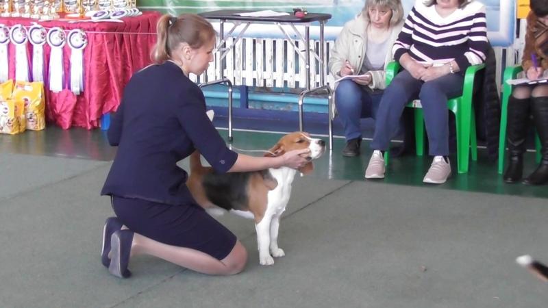 Бигль, Региональная выставка собак в Великом Новгороде