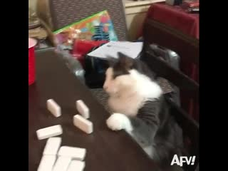 Кот играет в домино