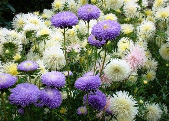 Астра однолетняя Благодаря ярким пышным соцветиям, неприхотливости и продолжительному цветению астру однолетнюю (каллистефус) выращивают практически в любом саду. Это травянистое растение имеет