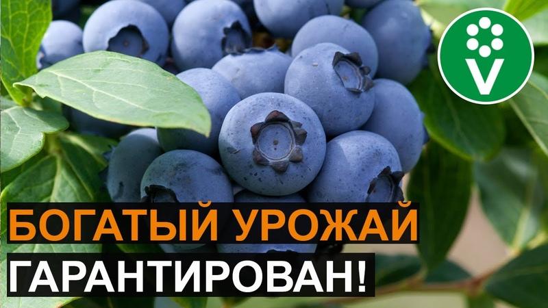 ЧЕМ ПОДКОРМИТЬ ГОЛУБИКУ для крупных и вкусных ягод?